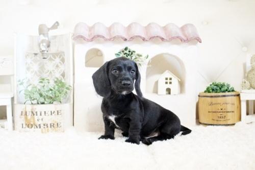 カニンヘンダックスフンド(ロング)の子犬(ID:1255411764)の2枚目の写真/更新日:2017-10-10