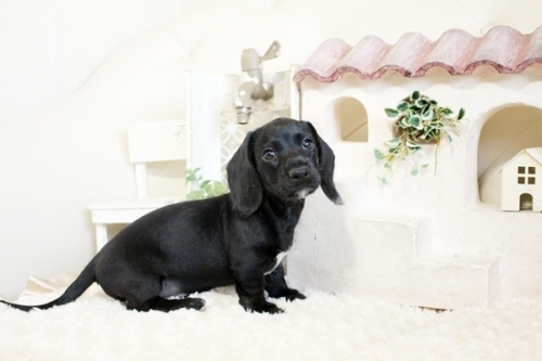 カニンヘンダックスフンド(ロング)の子犬(ID:1255411764)の3枚目の写真/更新日:2017-10-10