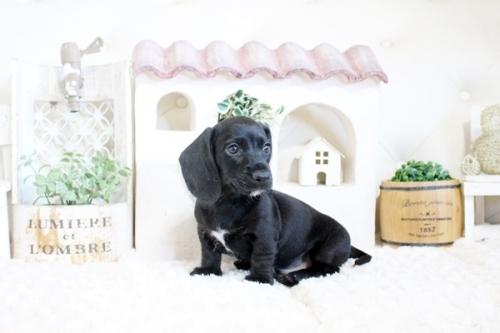 カニンヘンダックスフンド(ロング)の子犬(ID:1255411764)の4枚目の写真/更新日:2017-10-10