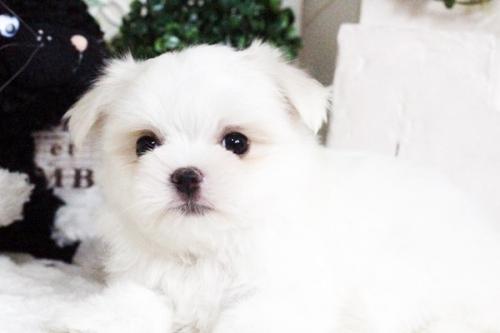 マルチーズの子犬(ID:1255411765)の2枚目の写真/更新日:2017-09-27