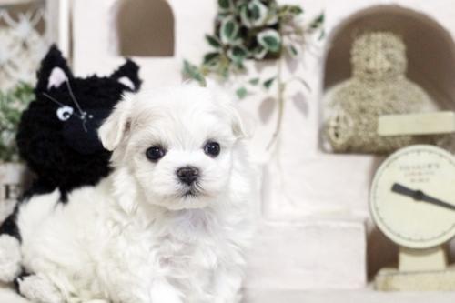 マルチーズの子犬(ID:1255411766)の1枚目の写真/更新日:2017-09-27