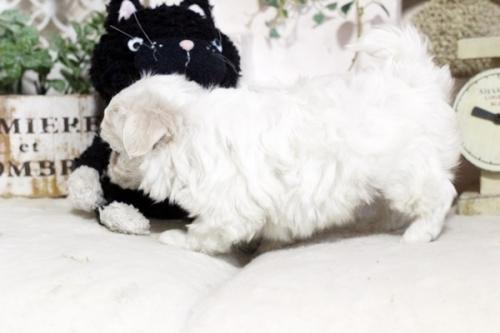 マルチーズの子犬(ID:1255411766)の3枚目の写真/更新日:2017-09-27