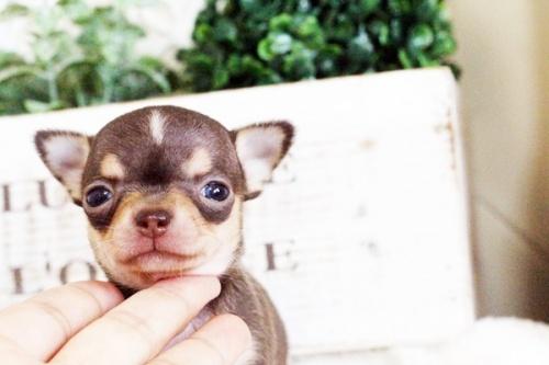 チワワ(スムース)の子犬(ID:1255411767)の1枚目の写真/更新日:2017-10-03