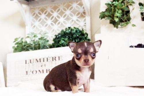 チワワ(スムース)の子犬(ID:1255411767)の2枚目の写真/更新日:2017-10-03