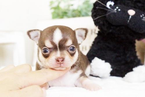 チワワ(スムース)の子犬(ID:1255411768)の1枚目の写真/更新日:2017-10-03
