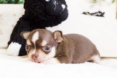 チワワ(スムース)の子犬(ID:1255411768)の2枚目の写真/更新日:2017-10-03