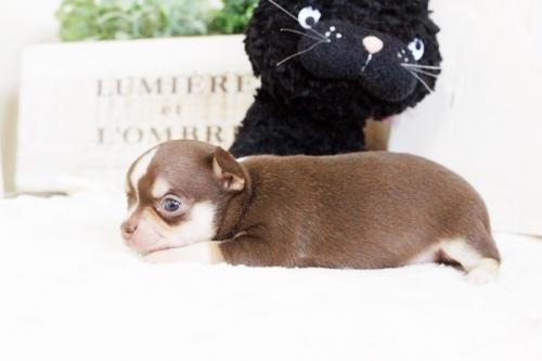 チワワ(スムース)の子犬(ID:1255411768)の3枚目の写真/更新日:2017-10-03