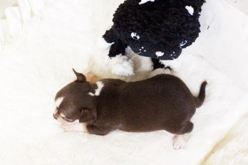 チワワ(スムース)の子犬(ID:1255411768)の4枚目の写真/更新日:2017-10-03
