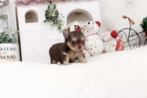 チワワ(ロング)の子犬(ID:1255411769)の1枚目の写真/更新日:2017-10-10