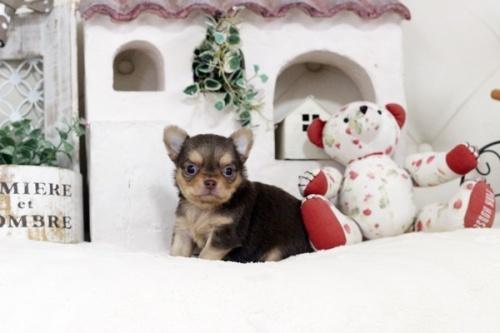 チワワ(ロング)の子犬(ID:1255411769)の2枚目の写真/更新日:2017-10-10