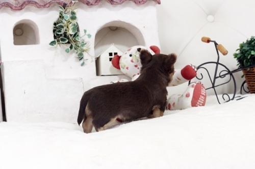 チワワ(ロング)の子犬(ID:1255411769)の3枚目の写真/更新日:2017-10-10