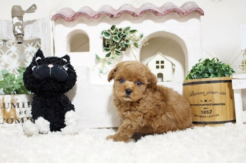 トイプードルの子犬(ID:1255411770)の1枚目の写真/更新日:2020-05-04