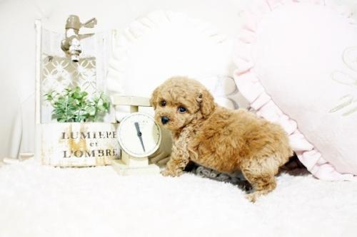 トイプードルの子犬(ID:1255411770)の2枚目の写真/更新日:2021-08-25