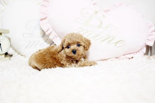 トイプードルの子犬(ID:1255411770)の3枚目の写真/更新日:2021-08-25