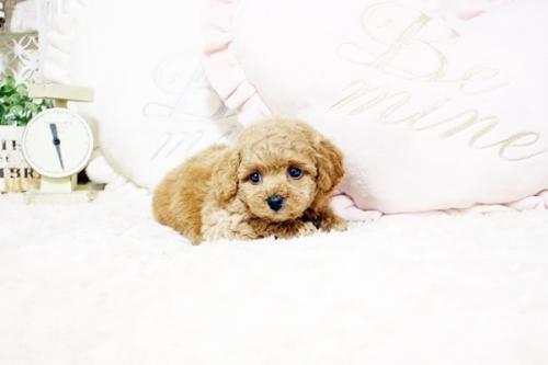 トイプードルの子犬(ID:1255411770)の4枚目の写真/更新日:2021-08-25