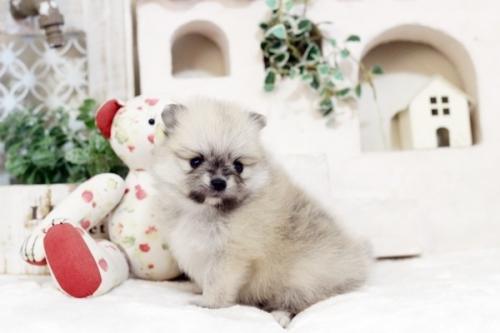 ポメラニアンの子犬(ID:1255411771)の1枚目の写真/更新日:2017-10-13
