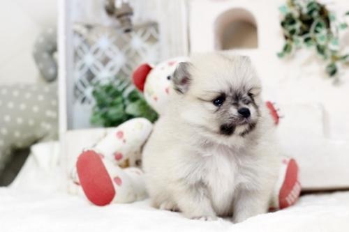 ポメラニアンの子犬(ID:1255411771)の2枚目の写真/更新日:2019-11-13