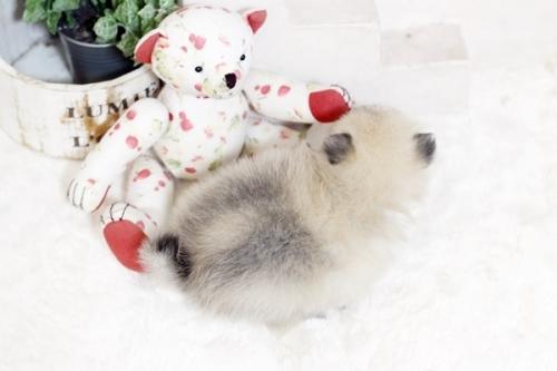 ポメラニアンの子犬(ID:1255411771)の3枚目の写真/更新日:2019-11-13