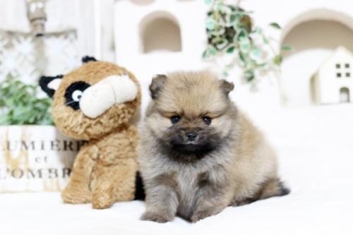 ポメラニアンの子犬(ID:1255411772)の1枚目の写真/更新日:2017-10-13
