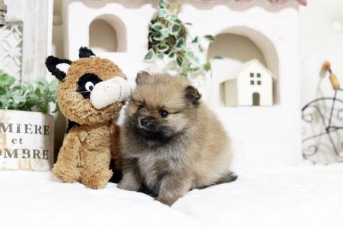 ポメラニアンの子犬(ID:1255411772)の2枚目の写真/更新日:2017-10-13