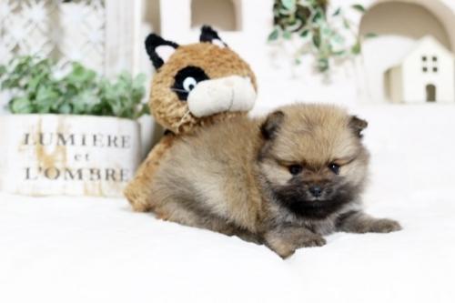 ポメラニアンの子犬(ID:1255411772)の3枚目の写真/更新日:2019-11-28