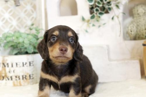 ミニチュアダックスフンド(ロング)の子犬(ID:1255411773)の1枚目の写真/更新日:2021-02-01