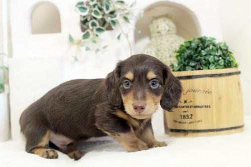 ミニチュアダックスフンド(ロング)の子犬(ID:1255411773)の2枚目の写真/更新日:2021-02-01