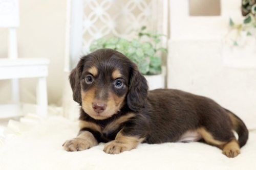 ミニチュアダックスフンド(ロング)の子犬(ID:1255411773)の3枚目の写真/更新日:2021-02-01