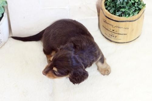 ミニチュアダックスフンド(ロング)の子犬(ID:1255411773)の4枚目の写真/更新日:2021-02-01