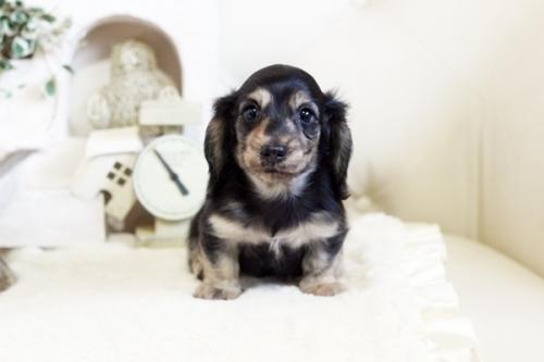 カニンヘンダックスフンド(ロング)の子犬(ID:1255411775)の1枚目の写真/更新日:2017-10-13