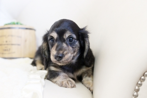 カニンヘンダックスフンド(ロング)の子犬(ID:1255411775)の2枚目の写真/更新日:2017-10-13