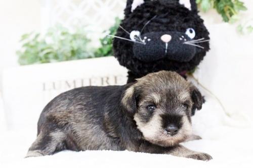 ミニチュアシュナウザーの子犬(ID:1255411776)の1枚目の写真/更新日:2017-10-13