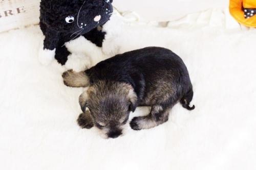 ミニチュアシュナウザーの子犬(ID:1255411776)の2枚目の写真/更新日:2017-10-13