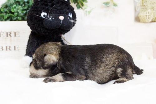 ミニチュアシュナウザーの子犬(ID:1255411776)の3枚目の写真/更新日:2017-10-13