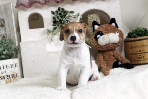 ジャックラッセルテリアの子犬(ID:1255411777)の1枚目の写真/更新日:2017-10-13
