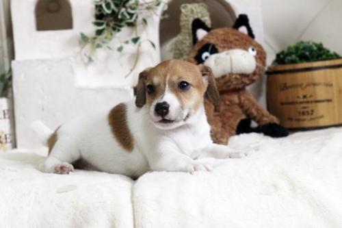 ジャックラッセルテリアの子犬(ID:1255411777)の2枚目の写真/更新日:2017-10-13