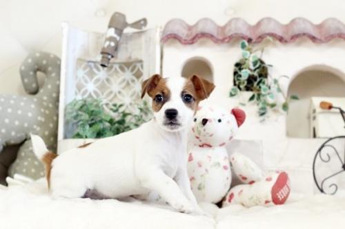 ジャックラッセルテリアの子犬(ID:1255411778)の1枚目の写真/更新日:2017-10-13