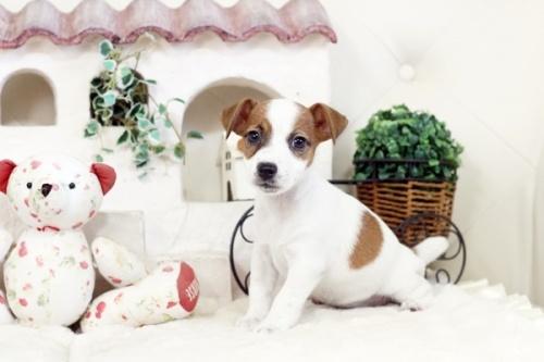 ジャックラッセルテリアの子犬(ID:1255411778)の2枚目の写真/更新日:2020-03-12