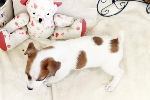 ジャックラッセルテリアの子犬(ID:1255411778)の3枚目の写真/更新日:2017-10-13