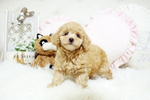 トイプードルの子犬(ID:1255411779)の1枚目の写真/更新日:2017-10-13
