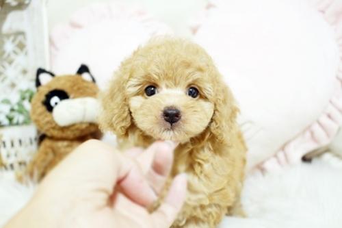 トイプードルの子犬(ID:1255411779)の2枚目の写真/更新日:2017-10-13