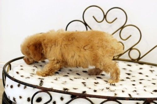トイプードルの子犬(ID:1255411779)の3枚目の写真/更新日:2017-10-13