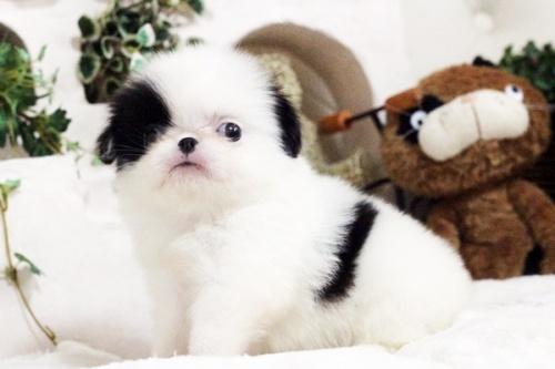 狆(チン)の子犬(ID:1255411780)の1枚目の写真/更新日:2017-10-17