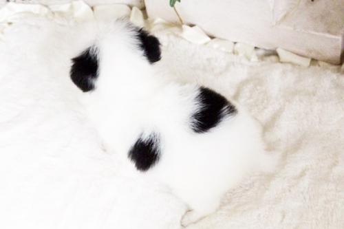 狆(チン)の子犬(ID:1255411780)の2枚目の写真/更新日:2017-10-17