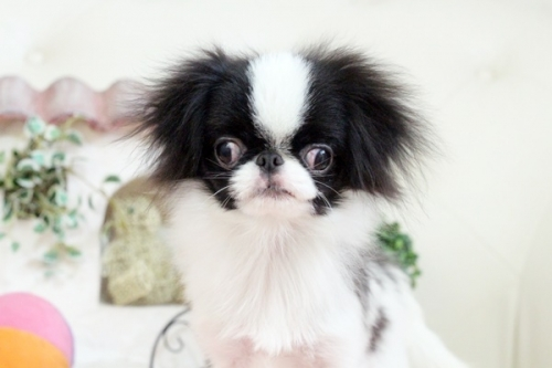 狆(チン)の子犬(ID:1255411781)の1枚目の写真/更新日:2017-10-17