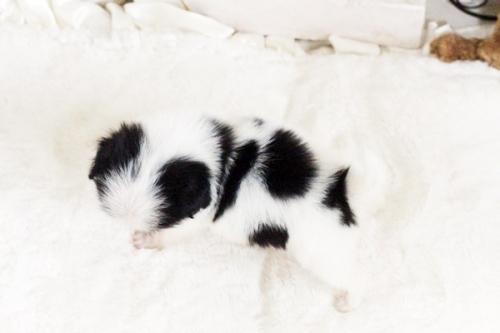 狆(チン)の子犬(ID:1255411781)の2枚目の写真/更新日:2017-10-17