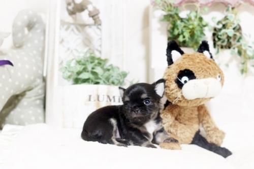 チワワ(ロング)の子犬(ID:1255411782)の1枚目の写真/更新日:2017-10-17