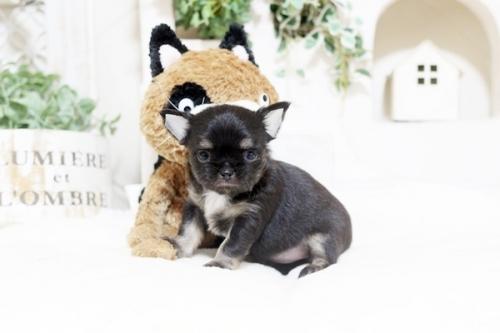 チワワ(ロング)の子犬(ID:1255411782)の2枚目の写真/更新日:2017-10-17