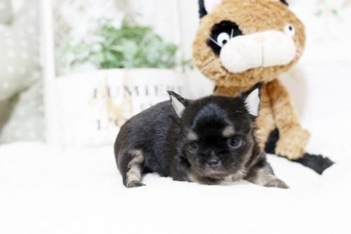 チワワ(ロング)の子犬(ID:1255411782)の3枚目の写真/更新日:2017-10-17