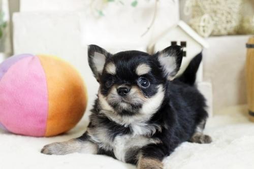 チワワ(ロング)の子犬(ID:1255411783)の1枚目の写真/更新日:2017-10-17